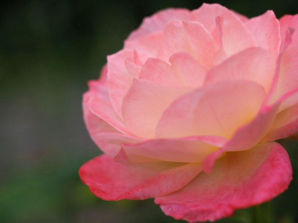 lotus-rose_14983778225_l